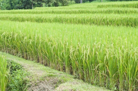 Rice field in Thailand  Stock Photo