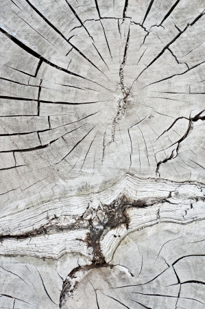 Old dry wood cross section   photo