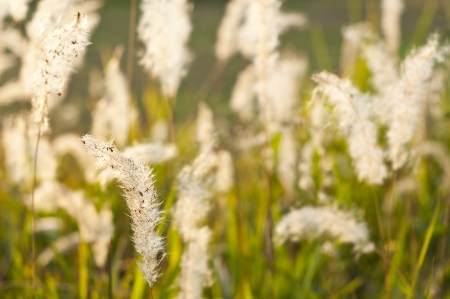 Foxtail grass flower  photo