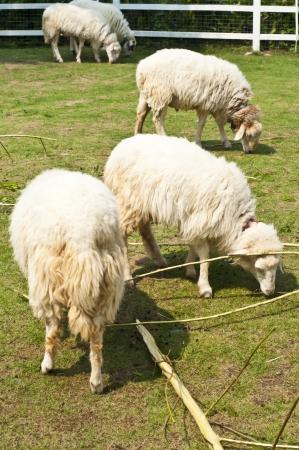Sheep in farm Stock Photo - 18408077