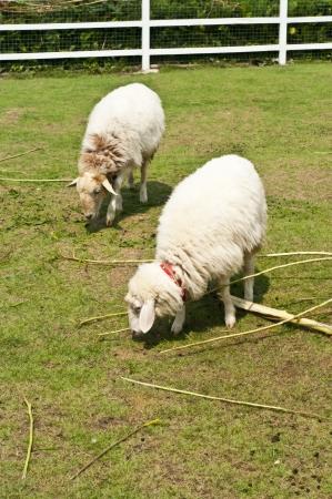 Sheep in farm Stock Photo - 18408081