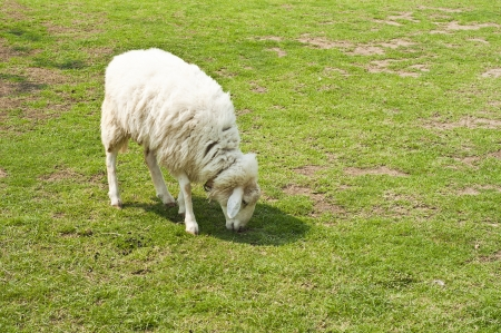 Sheep in farm  Stock Photo - 18408082