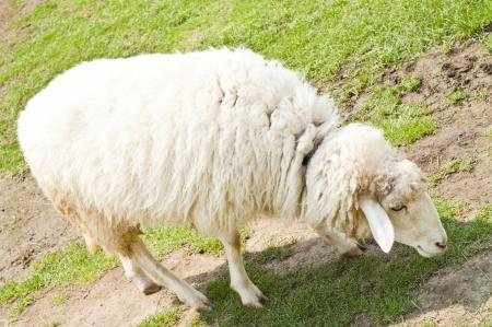 Sheep in farm  Stock Photo - 18408379