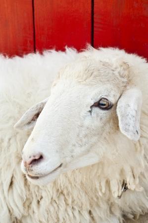 Sheep in farm Stock Photo - 18408354