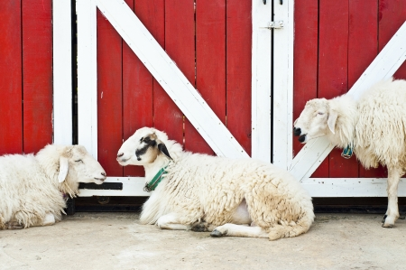 Sheep in farm Stock Photo - 18408377