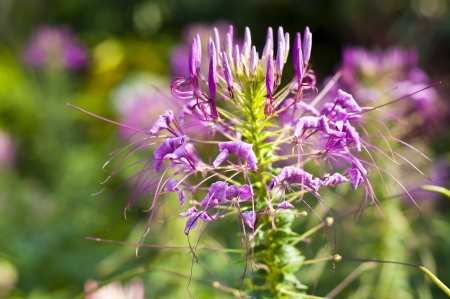 Spider flower  Stock Photo - 18676554