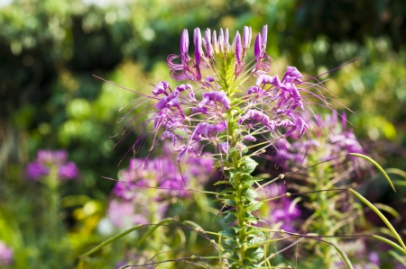 Spider flower Stock Photo - 18676558