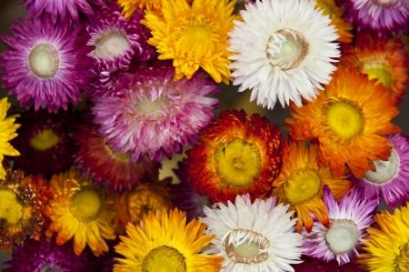 everlasting: Everlasting flower  Stock Photo