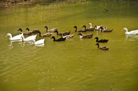 Ducks in pond  photo