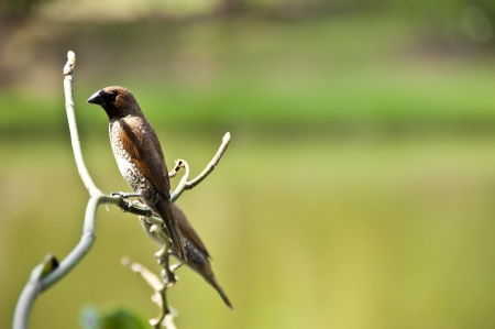 weaver: Golden weaver bird  Stock Photo