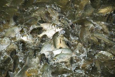 cyprinidae: Silver Barb fish  Stock Photo