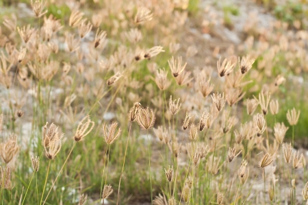 Grass flower in meadow  Stock Photo