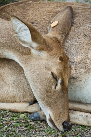 Burmese brow-antlered deer or Rucervus eldii thamin  photo