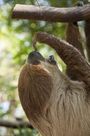 sloth: Perezoso de dos dedos, Choloepus didactylus Foto de archivo