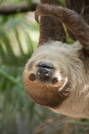 oso perezoso: Perezoso de dos dedos, Choloepus didactylus Foto de archivo