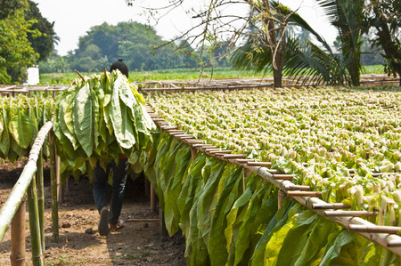 Drying tobacco leaves  Stock Photo
