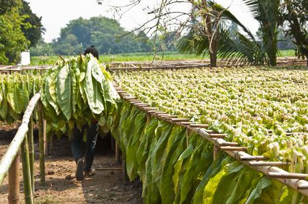 Séchage des feuilles de tabac Banque d'images - 26744905