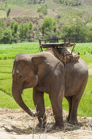 enchain: Young elephant in elephant camp, Thailand