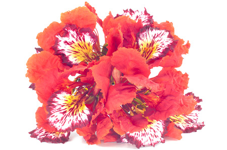 flamboyant: Flam-boyant bloem geïsoleerde