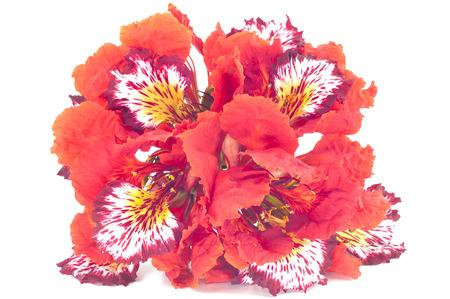 Flam-Boyant fleur isolé Banque d'images