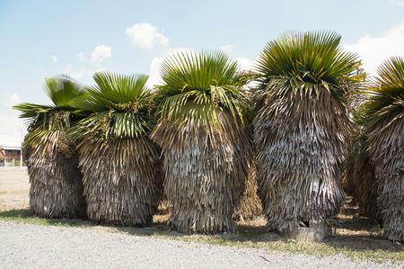 Tropical palm bush