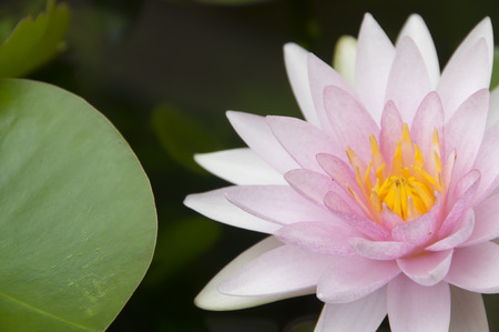 Pink water lily in nature