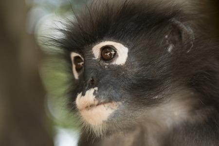 dusky: Dusky leaf monkey, Trachypithecus obscurus