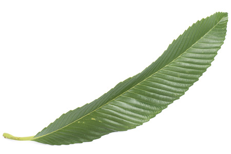 Fresh green leaf isolated  Stock Photo