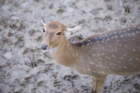 axis deer: Cheetal or Spotted deer or Axis deer. Stock Photo
