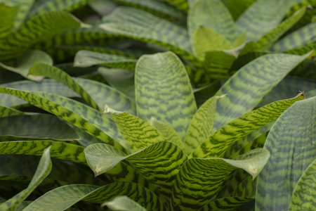 neoregelia: Pineapple plant, Neoregelia Spectabilis Hybrid.
