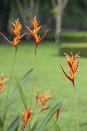 heliconia: Heliconia flower in garden.