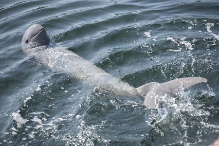 Irrawaddy dolphin swimming in ocean.