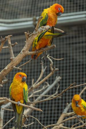 psittacidae: Sun conure parrot in birdcage.