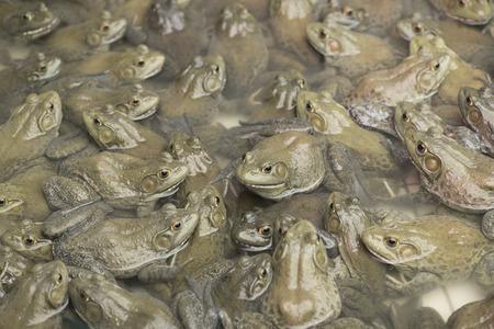 bullfrog: American bullfrog in frog farm, Lithobates Catesbeianus.