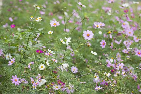 cav: Cosmos flowers or Cosmos Sulphureus Cav. blooming in the garden.