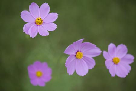 cav: Cosmos flowers or Cosmos Sulphureus Cav. macro close up.