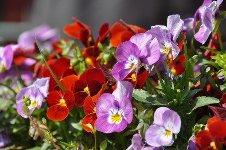 Pansy flower in flower bed close up. Stock Photo