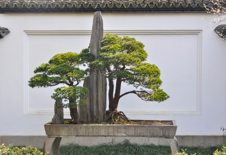 Bonsai, draft pine tree decoration in garden. Banque d'images