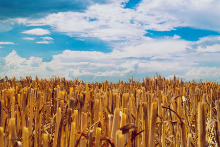 Cut the remains of ears of Golden color on the field after harvest against the blue sky with dense rain clouds.