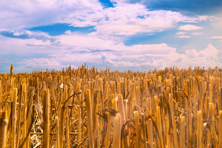 Field of wheat after harvest with the remains of pruned ears of Golden color against the blue sky with dense rain clouds.