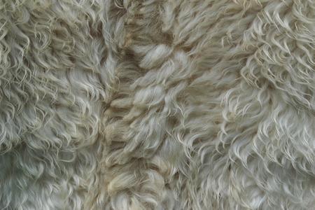 White sheep fur. Dirty unkempt wool. Strands fur. Skin for caps.