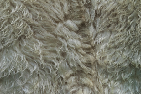 Skin with white fur. Strands of white hair. Unwashed dirty wool. Sheep fur.