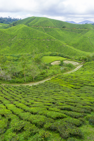 pahang: Beautiful scenery of tea plantation at Cameron Highlands, Pahang, Malaysia Stock Photo