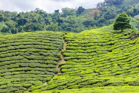 cropland: Beautiful scenery of tea plantation at Cameron Highlands, Pahang, Malaysia Stock Photo