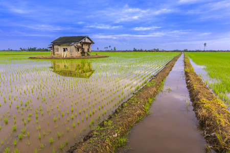 damaged roof: Abandoned wooden house in middle of paddy field with a sunrise sky in the background.