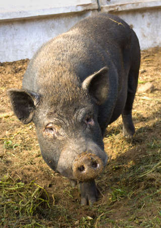 House black pig on a farm. Diagonal composition Stock Photo