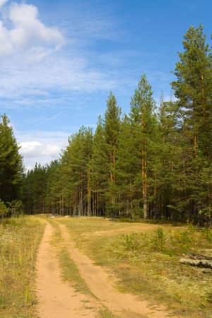 Pine pine forest in the summer. A dirt road going through wood.