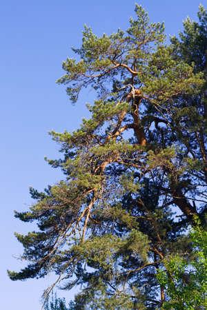 Single (branch of pine) pine over blue sky Stock Photo