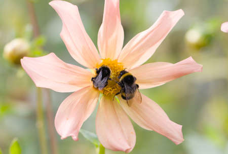 two bomblebees siting on a pink flower Stock Photo