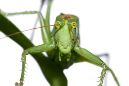 The big green grasshopper sitting on a blade